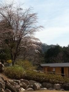 桜7部咲きの写真