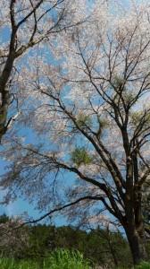 桜 4。11