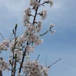 桜 咲いた